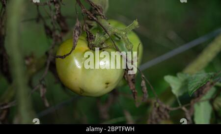 Große grüne unreife Tomate auf dem Bauernhof - Stockfoto
