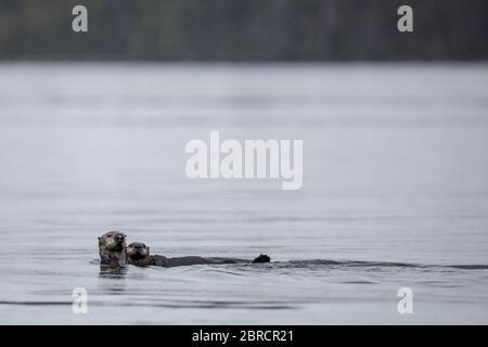 In Südost-Alaska sind Seeotter, Enhydra lutris und andere Wildtiere auf den Blashke-Inseln für Abenteurer auf einer kleinen Schifffahrt attraktiv. - Stockfoto