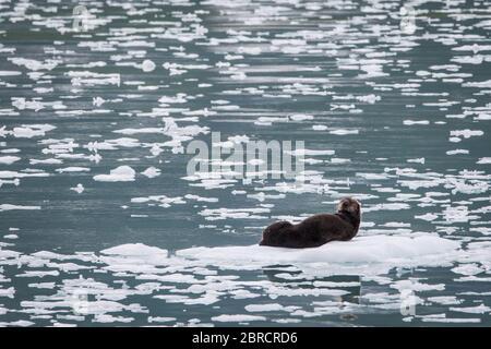 Der Glacier Bay National Park, Südost-Alaska, USA, ist die Heimat von Bootstouren vorbei an Eisbergen zum Margerie Gletscher und Wildtieren wie Seeotter, Enhyra lutris