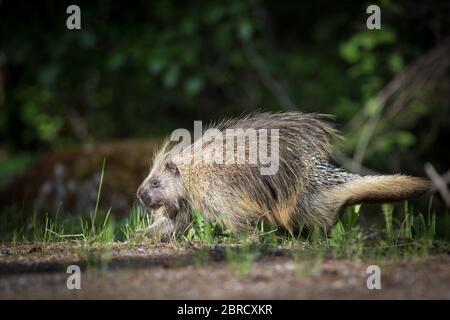 Glacier Bay National Park, Southeast Alaska, USA ist die Heimat von malerischen Waldaussichten und Wildtieren wie nordamerikanische Stachelschweine, Erethizon dorsatum.