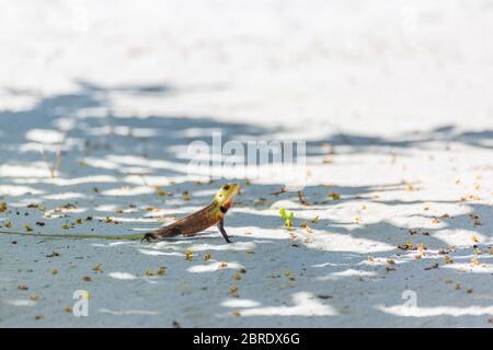 Oriental Garden Lizard, östliche Garteneidechse oder veränderliche Eidechse auf Sand vor grünem Hintergrund im natürlichen Garten - Stockfoto