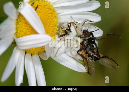 Weibliche Krabbenspinne mit Männchen auf dem Rücken - Misumena vatia on Ox Eye Daisy - Leucanthemum vulgare mit Fliegenpfeif - Stockfoto