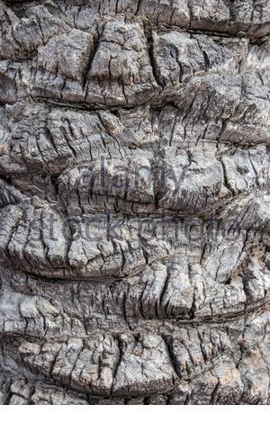 Rinde Textur Hintergrund. Nahaufnahme von einem hellen grau braun Palm Tree bark in Spanien mit einem hügelig unebenen Oberfläche, wobei die natürliche Sonneneinstrahlung unterscheiden - Stockfoto