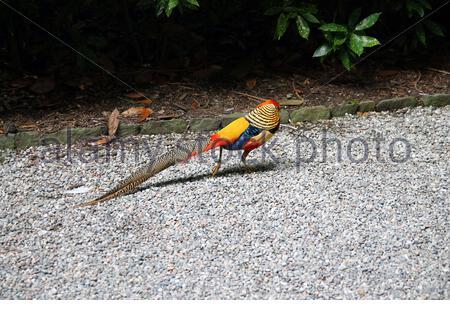Golden Pheasant Langschwanz rot und gelb - Stockfoto