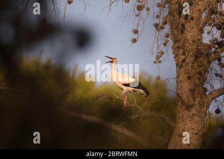 Weißstorch (Ciconia ciconia), der sich in einer Balzanzeige einmitzt. Weißstörche leben in Feuchtgebieten, Savannen, Wiesen und landwirtschaftlichen Feldern. Während der Breedi