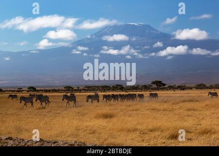 Gewöhnliche Zebraherde (Equus quagga) auf der Savanne mit dem Mt Kilimandscharo (19340 ft) im Hintergrund im Amboseli Nationalpark, Kenia - Stockfoto