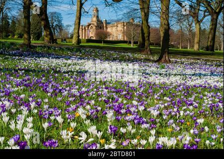Wunderschöne bunte Frühlingskrusten, Rasen, Cartwright Hall Kunstgalerie (historisches Museum) & blauer Himmel - sonniger Lister Park Bradford, England. - Stockfoto