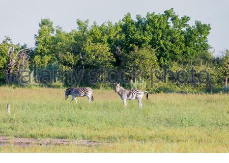 Zwei weidende Zebra in der frühen Morgensonne am Okavango Delta. - Stockfoto