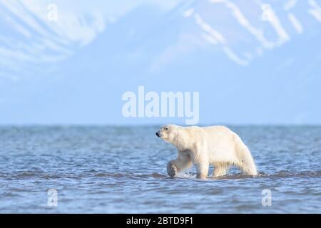 Ein Eisbär, der in Spitzbergen unterwegs ist - Stockfoto