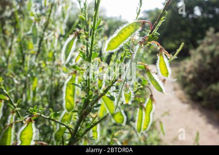 Samenschoten oder Hülsenfrüchte von Cytisus scoparius oder Scotch Besen - Stockfoto