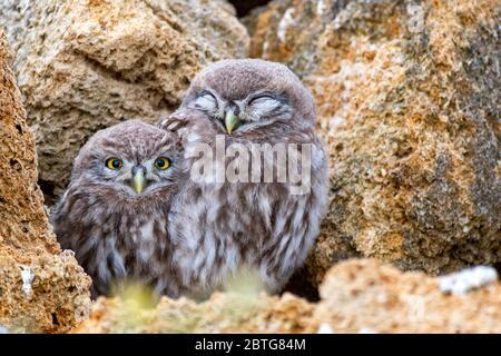 Zwei junge Eule (Athene noctua), die auf einem Stein in der Nähe ihrer Höhlen steht. Nahaufnahme.