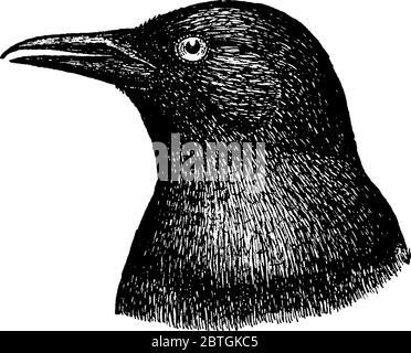 Die typische Darstellung zu Krähen, wahre Autos sind große Singvögel, die die Gattung Corvus in der Familie Corvidae, Vintage-Linie Zeichnung o umfassen - Stockfoto