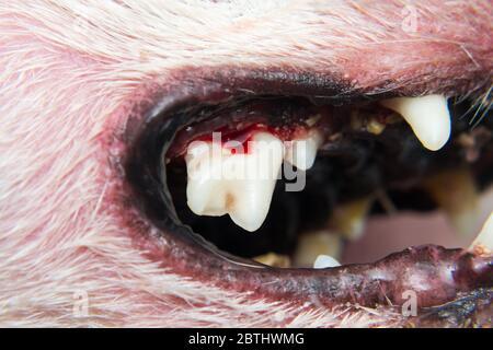 Hundezähne mit Zahnstein oder bakterieller Plaque nach dem Abwürgen - Stockfoto