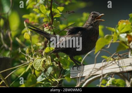 amsel (Turdus merula) singt auf einem Zaun mit geöffnetem Schnabel - Stockfoto