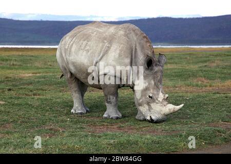 Porträt eines weißen Nashorns, das am Nakuru-See in Kenia grast - Stockfoto