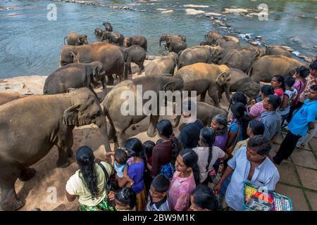 PINNAWALA, SRI LANKA - 21. JULI 2012 : Elefanten aus dem Pinnawala Elephant Waisenhaus fahren an Touristen vorbei in Richtung Maha Oya Fluss. Zweimal täglich die - Stockfoto