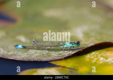Libelle auf ein Blatt - Stockfoto