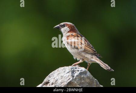 Haus Sparrow, Passer domesticus, thront auf einem Zweig in einem britischen Garten, Frühjahr Sommer 2020