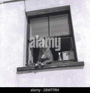 1960s, historisch, an einem offenen Holzfenster, ein Boxerhund mit seinen Beinen auf dem Fenster noch, neugierig zu sehen, was draußen vor sich geht, spähend aus, England, Großbritannien. Boxerhunde gelten als intelligente, athletische Hunde, loyal und gute Familienhunde. - Stockfoto