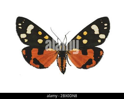 Schöne scharlachrote Tigermotte (Callimorpha dominula L.) isoliert auf weißem Hintergrund - Stockfoto
