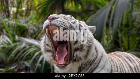 Nahaufnahme der knurrenden weißen Tiger / gebleichten Tiger (Panthera tigris) Pigmentvariante des bengalischen Tigers, mit großen Eckzähnen und Zunge - Stockfoto