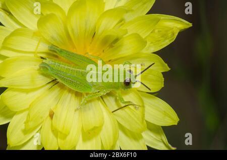 Spornkehlgrasshopper, Melanoplus sp., Nymphe auf Falschem Löwenzahn, Pyrrhopappus sp. - Stockfoto