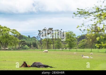 Clarilawmuir, Selkirk, Scottish Borders, Schottland, Großbritannien. Mai 2020. Racehose's Genießen Sie das Sommergras während der Sperrung von 2020 auf dem Hof von Nation - Stockfoto