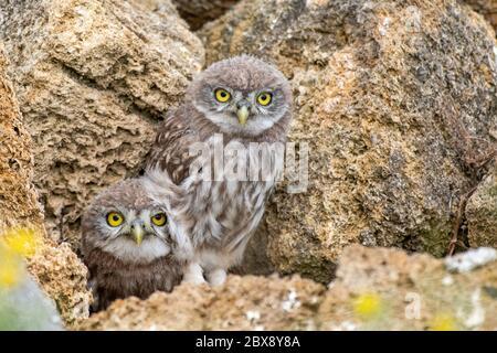 Zwei junge Eule, Athene noctua, die aus einem Loch in den Felsen spähen. - Stockfoto