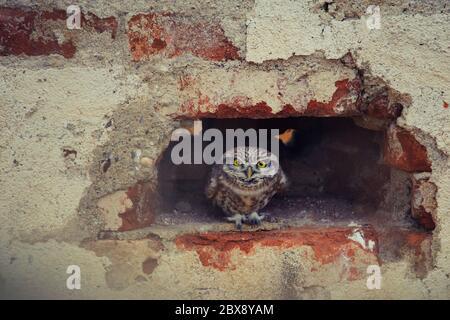 Die kleine Eule (Athene noctua), die aus einem Loch in einer Ziegelwand spähen. - Stockfoto