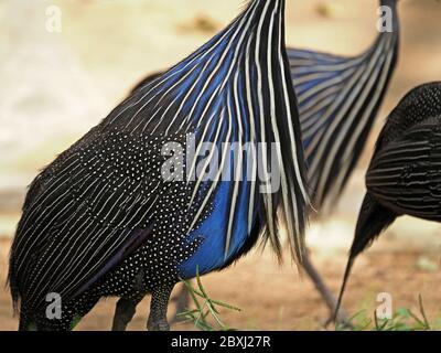Schillerndes Muster aus blauen schwarzen und silbernen Flecken und Streifen von Vulturine Guinea-Geflügel (Acryllium vulturinum) im Tsavo East National Park, Kenia, Afrika