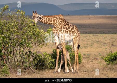 Eine neugeborene Giraffe steht zwischen den Beinen ihrer Mutter zum Schutz, während sie sich von den Blättern eines Busches ernährt. Aufnahme in der Masai Mara, Kenia.