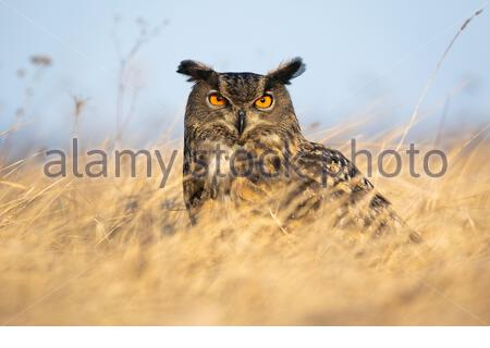 Wilder europäischer Adlereule, bubo bubo, schaut intensiv in die Kamera mit orangefarbenen Augen. Wilder Greifvogel sitzt auf einer Wiese bei Sonnenaufgang im Herbst - Stockfoto