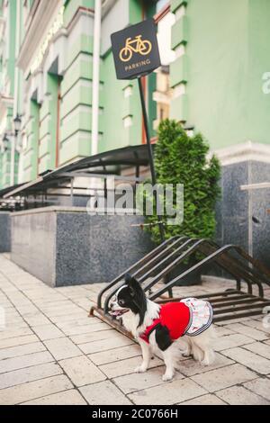 Ein kleiner witziger schwarz-weißer chihuahua-Rassehund ist an einen Fahrradparkplatz in der Stadt gebunden. Chihuahua in einem Kleid in der Nähe des Schildes Fahrradparken - Stockfoto