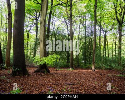 Alte Laubwälder im Frühling. Hohe Buchen mit blauer Himmel Hintergrundbeleuchtung und neue Blätter über den Waldboden.