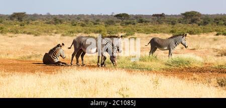 Die Zebrafamilie weidet in der Savanne Kenias in Samburu
