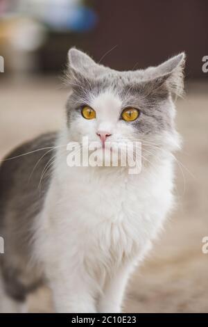 Portrait von liebenswert grau weiß Kitten. Portrait von grau schöne Katze suchen mit Interesse - Stockfoto