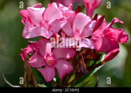 Oleander, Nerium Oleander, leander - Stockfoto