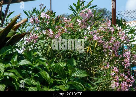 Nerium Oleander ist ein Strauch oder kleiner Baum in der Familie der Dogbane Apocynaceae, giftig in allen Teilen - Stockfoto