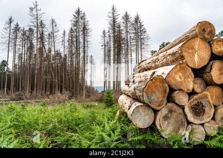 Waldausfall im Naturpark Arnsberger Wald sind mehr als 70 Prozent der Fichten erkrankt, beschädigt, meist durch den Rindenkäfer, der sich in der Regel in der Natur befindet - Stockfoto