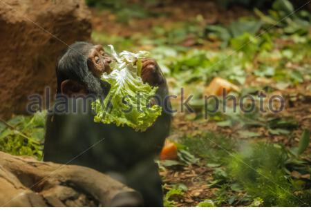 Hungrig haarige Affe Salat im Zoo - Stockfoto