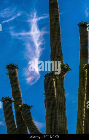 Ein Sonnenhund scheint im Mai über dem blühenden saguaro Kaktus im Ironwood Forest National Monument, Sonoran Desert, Arizona, USA. - Stockfoto