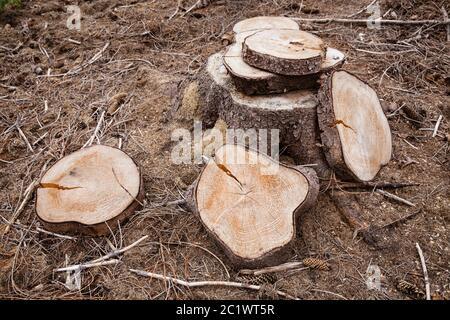 Scheiben einer Fichte im Königswald bei Köln, Nordrhein-Westfalen, Deutschland. Scheiben einer gefaellten Fichte im Königsforst bei Ko
