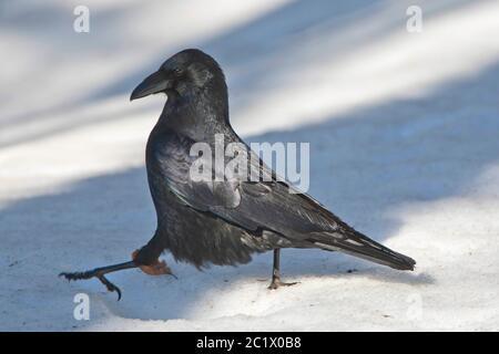Rabe (Corvus corax), im Schnee, Belgien, Ardennen - Stockfoto