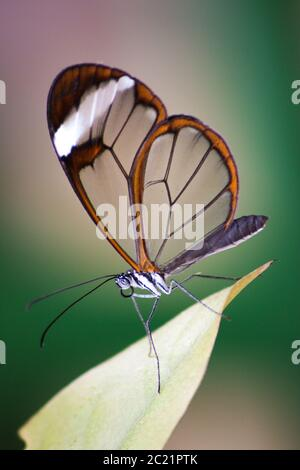 Glasflügeliger Schmetterling (greta oto) aus der Nähe auf einem Blatt sitzend. - Stockfoto