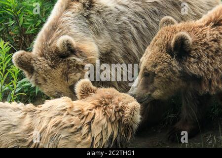 Drei europäische oder eurasische Braunbären (ursus arctos arctos) huddeln spielerisch im Gras zusammen - Stockfoto