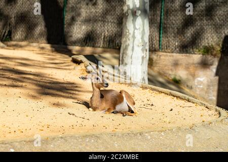 Saharian dorcas Gazelle (Gazella dorcas osiris) im Zoo Barcelona.