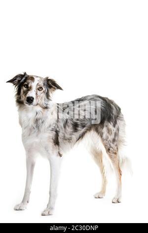 In voller Länge Porträt von Mischlingshund keuchend, während auf weißem Hintergrund sitzen - Stockfoto