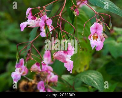 Rosa Blumen und grüne Blätter der invasiven Himalayan Balsam, Impatiens gladulifera, in North Yorkshire, England