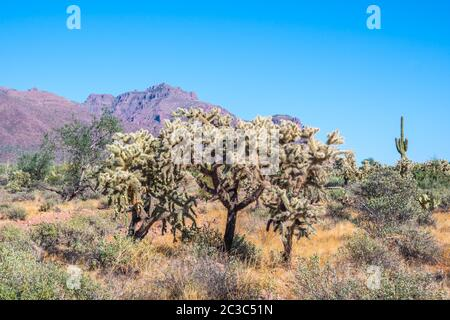 Ein Teddy Bear Cholla in Apache Junction, Arizona - Stockfoto