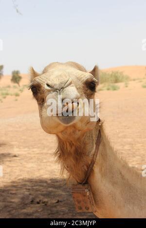 Erwachsenes arabisches Kamel (Dromedarie, mit einem Buckel) in heißem und trockenem Wüstensand. - Stockfoto